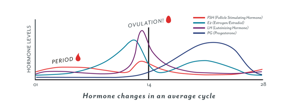 hormones changes in an average cycle