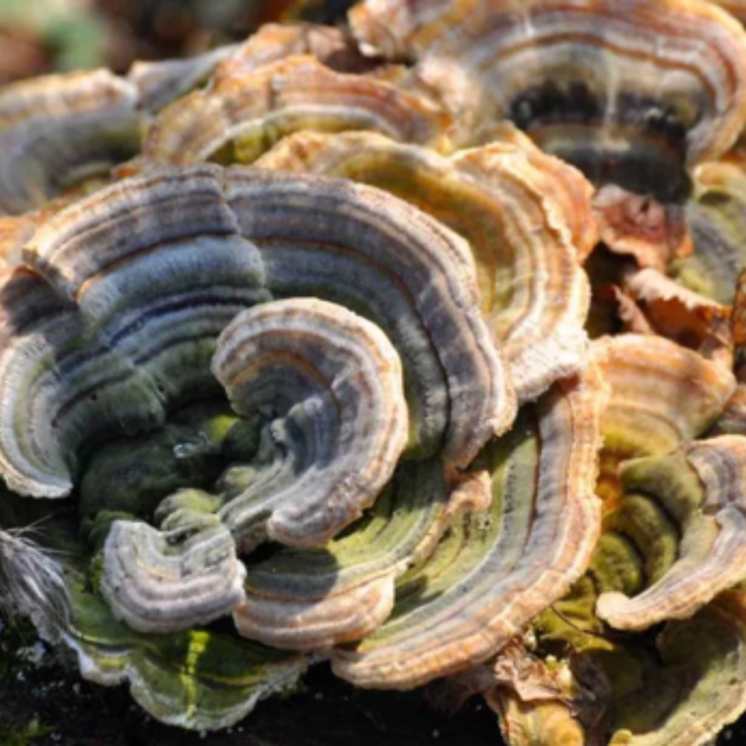 TURKEY TAIL mushrooms and benefits