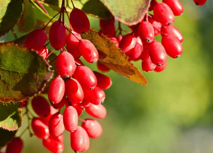 7 Powerful Uses of Berberine by Shawn Wells